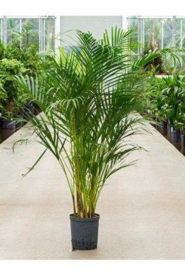 Palm Areca Chrysalidocarpus Lutescens (Goudpalm) - Hydroplant