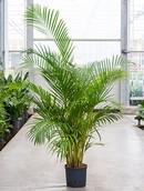 Palm Areca Chrysalidocarpus Lutescens