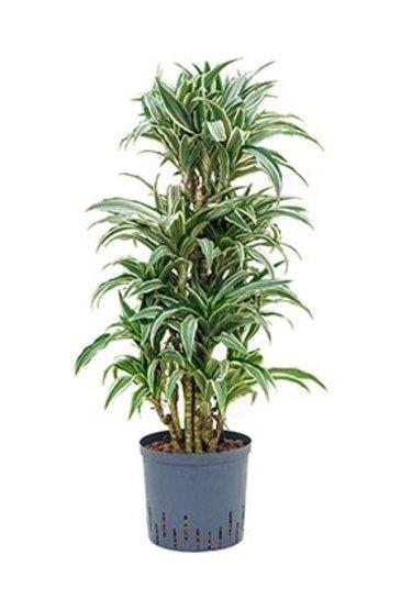 Dracaena White Stripe (Drakenbloedboom) - Hydroplant