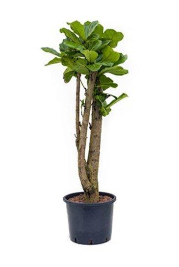 Ficus Lyrata (Vioolbladplant) - Hydroplant