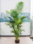 Kentia Howea Forsteriana