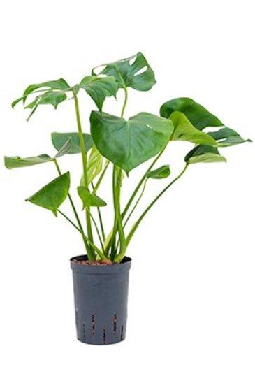 Philodendron Monstera (Gatenplant) - Hydroplant