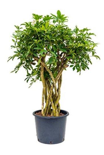 Schefflera Arboricola (Vingersboom) - Hydroplant