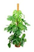 Philodendron Monstera Pertusem