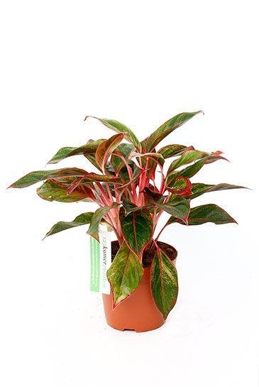 Aglaonema Crete  - Chinese Evergeen