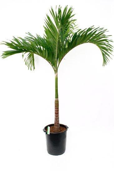 Palm Veitchia Merrillii - Flespalm