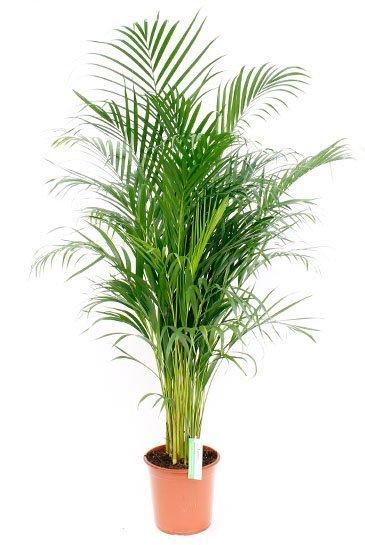 Palm Areca Chrysalidocarpus - Goudpalm