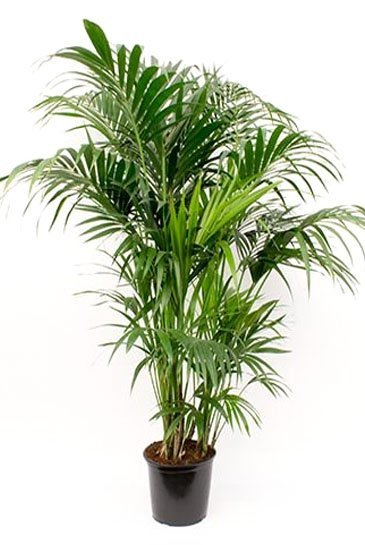 Palm Kentia Howea Forestiana