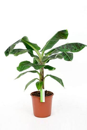 Bananenplant Musa Dwarf Cavendish- Bananenboom