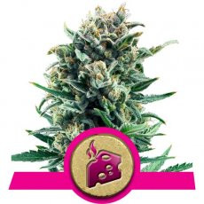 Royal Queen Seeds Blue Cheese