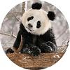 Pop socket Panda Beer