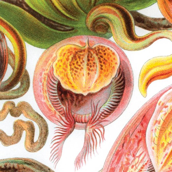 Pitcher plant by Ernst Haeckel NATM01061015