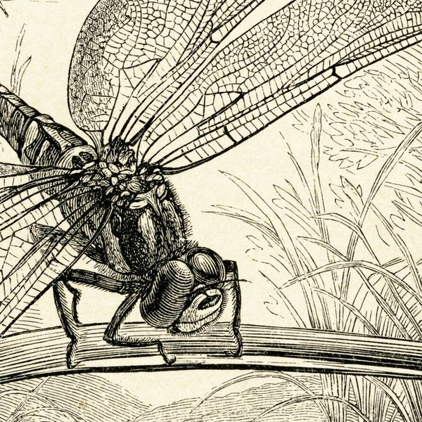 Dragonflies NATM01011015