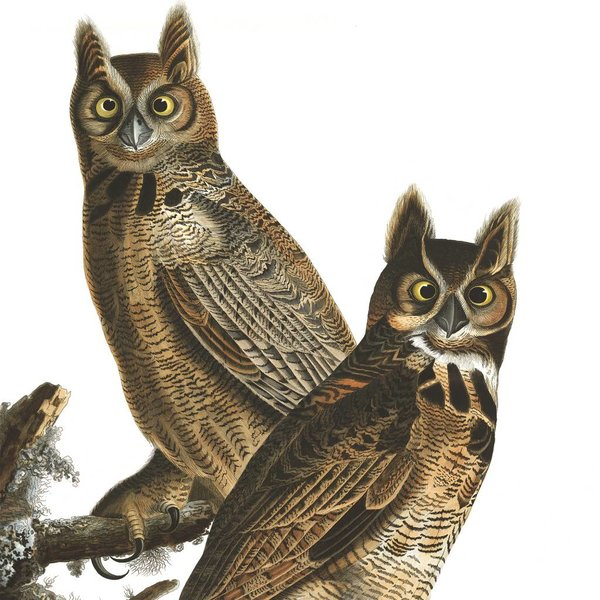Composition of owls by James Audubon NATM00220916