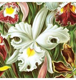 Naturalis Originals Orchids by Ernst Haeckel NATM00150916