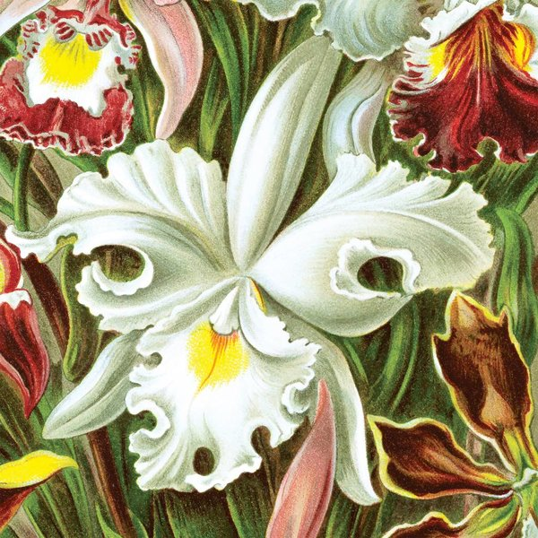 Orchids by Ernst Haeckel NATM00150916
