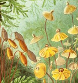 Naturalis Originals Haircap moss by Ernst Haeckel NATM00140916