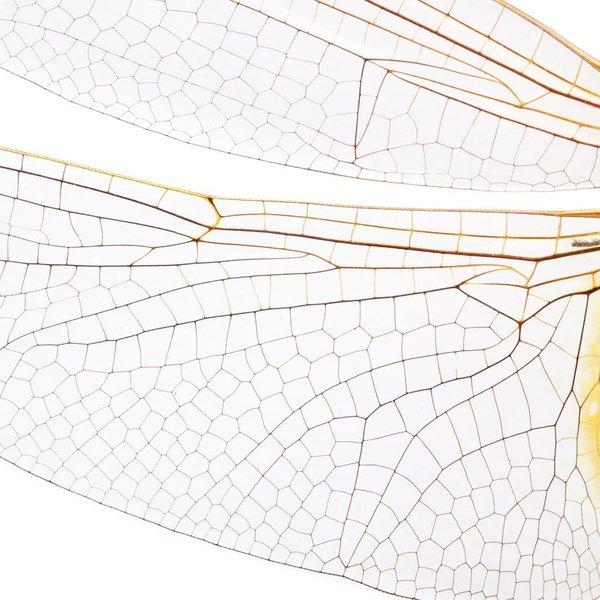 Big dragonfly NATM00070916