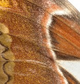 Naturalis Originals Atlas moth NATM00050916