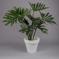 Philodendron Selloum in pot - 80 cm