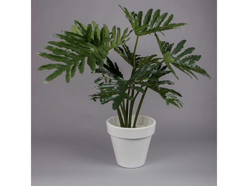 GeWoon Philodendron Selloum in pot - 80 cm