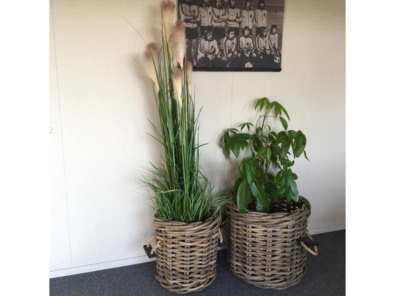 GeWoon Rietgras in pot - H180 cm