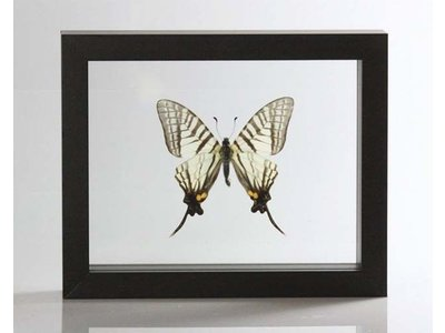 Ingelijste vlinder - Pazala Euroea