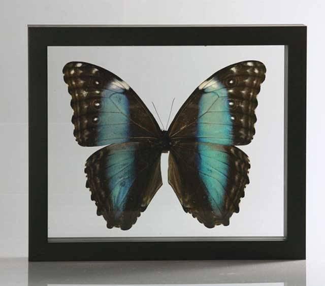 Ingelijste vlinder - Morpho Deidamia
