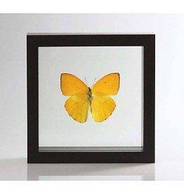 Ingelijste vlinder - Phoebis Argante
