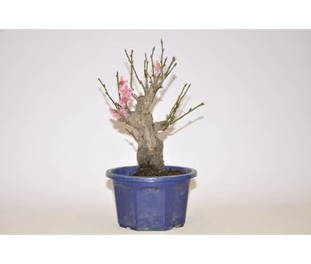 Prunus Mume rosa 185 mm