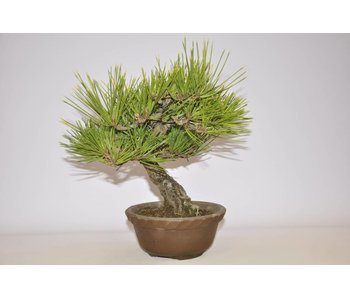 Pinus Thunbergii 220 mm