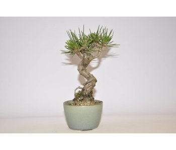 Pinus Thunbergii 145 mm
