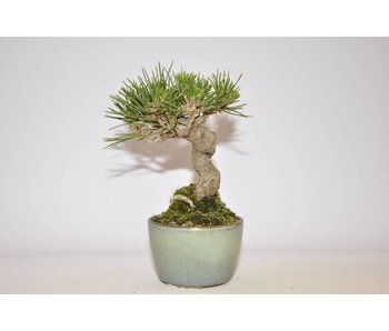 Pinus Thunbergii  115 mm