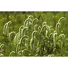 Siergrassen-ornamental grasses
