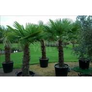 Palmbomen Trachycarpus fortunei - Chinese windmolenpalm
