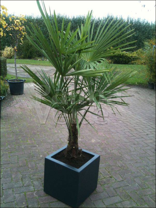 trachycarpus fortunei chinese windmolenpalm palma. Black Bedroom Furniture Sets. Home Design Ideas
