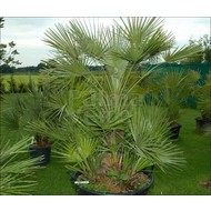 Palmbomen / palms Chamaerops humilis - Europese dwergpalm