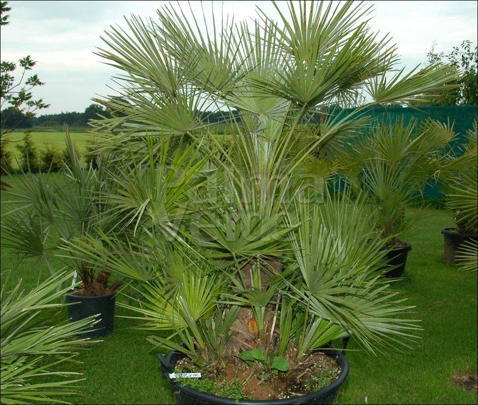 chamaerops humilis european dwarf palm palma verde exoten v o f. Black Bedroom Furniture Sets. Home Design Ideas
