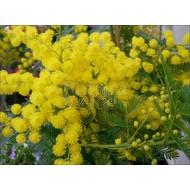 Bloemen Acacia dealbata Gauloise - Mimosa