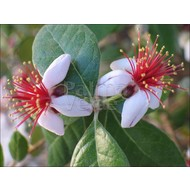 Bloemen-flowers Acca sellowiana - Brazilian guava
