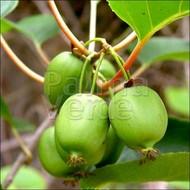 Eetbare tuin-edible garden Actinidia arguta Issai - Kiwiberry - Siberian kiwi
