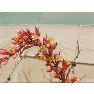 Woestijn Hesperaloe parviflora - Rode yucca
