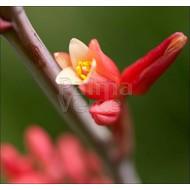 Woestijn-desert Hesperaloe parviflora - Rode yucca