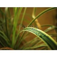 Siergrassen-ornamental grasses Acorus gramineus Oborozuki