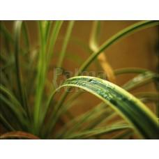 Siergrassen-ornamental grasses Acorus gramineus Oborozuki - Zoete kalmoes