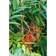 Palmbomen / palms Chamaedorea microspadix - Bamboepalm