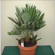 Palmbomen / palms Chamaerops vulcano
