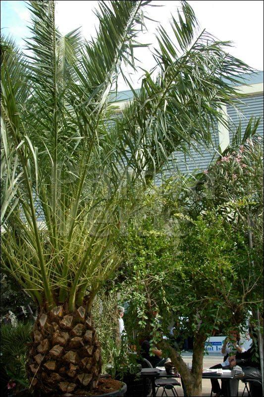 phoenix canariensis canarische dadelpalm palma verde. Black Bedroom Furniture Sets. Home Design Ideas