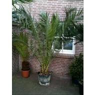 Palmbomen / palms Phoenix canariensis - Canarische dadelpalm