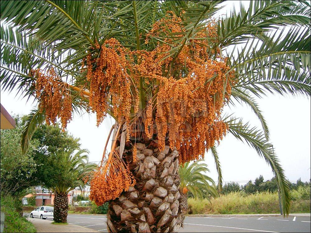 Финиковая пальма  rastenievodcom